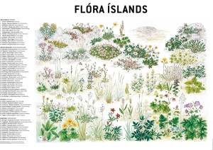 Flóra Íslands 70x50 cm, útgefandi CRYMOGEA / FOLDA.