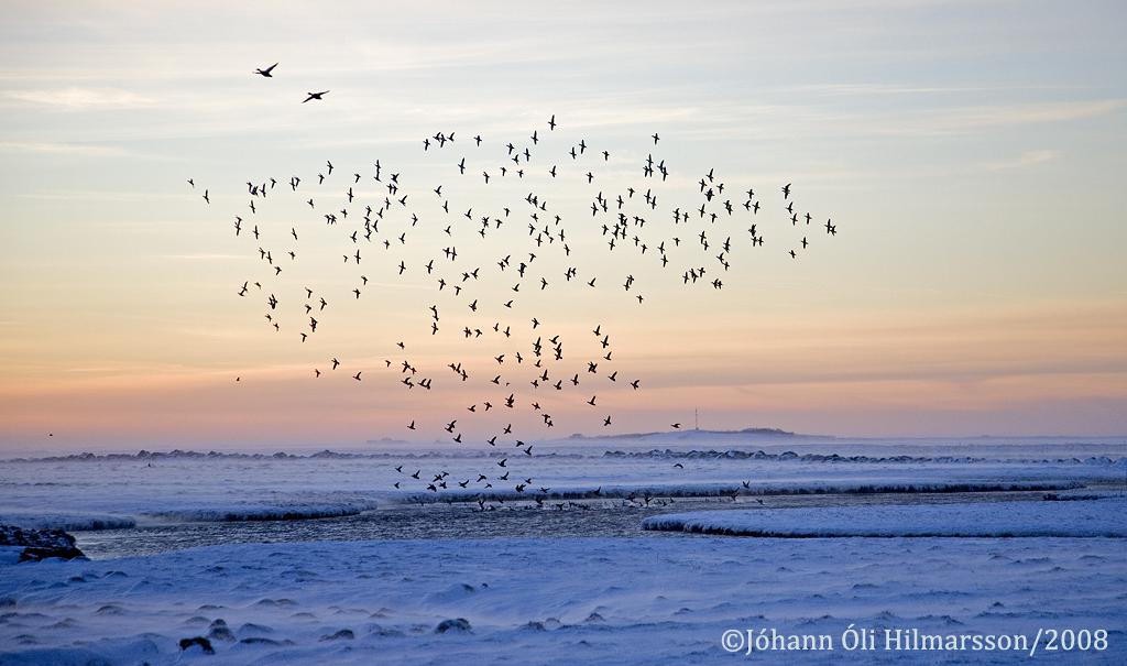 Rauðhöfðar á Opnum í Ölfusi að vetri.