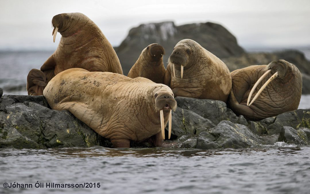 Séríslenskur rostungsstofn hvarf við landnám