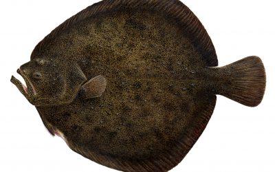 Flatfiskar